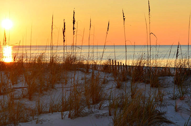 Sea Oats on the beach at Pelican Beach Resort in Destin FL