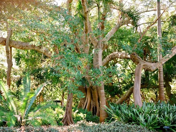 Mangrove At Marie Selby Botanical Gardens In Sarasota Florida. U2039 U203a