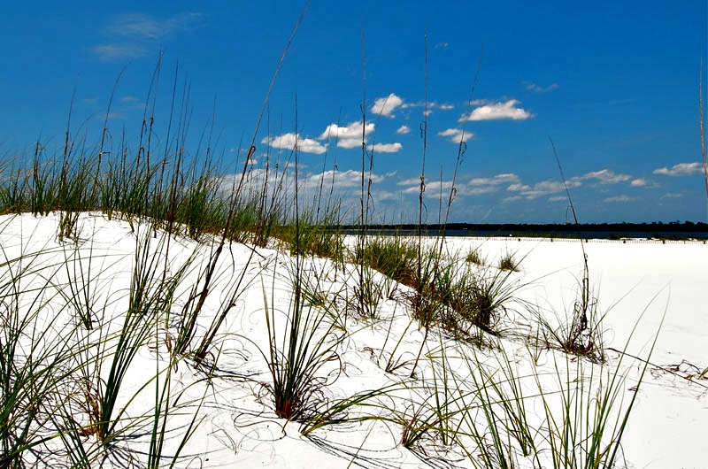 Sea oats on the Gulf of Mexico FL
