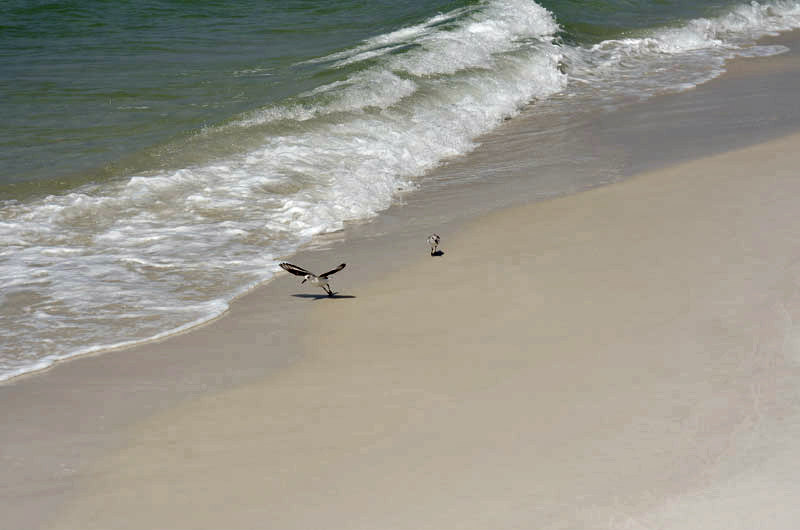 Birds on the beach at The Shores in Panama City FL